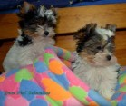Biewer Yorkshire terrier s PP