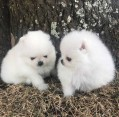 Cute and Adorable Pomeranian puppies for sale